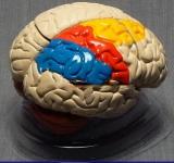 Модель мозга в разрезе (раскрашенный)