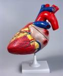 Модель сердца увеличенная