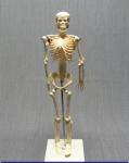 Скелет человека 42 см.