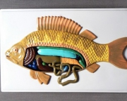 """Модель барельефная """"Внутреннее строение рыбы"""""""
