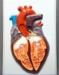 """Модель барельефная """"Строение сердца человека"""""""