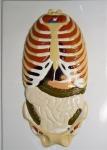 """Модель барельефная """"Расположение органов брюшной полости"""" (2 планшета)"""