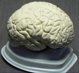 Модель мозга в разрезе (белый)
