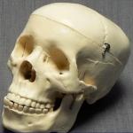Модель черепа (белая)