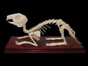 Скелет кролика