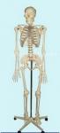 Скелет человека 170 см.