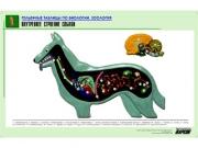 """Рельефная таблица """"Внутреннее строение собаки"""" (формат А1, матовое ламинир.)"""