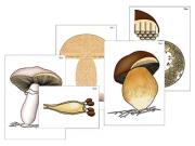 """Модель-аппликация """"Размножение шляпочного гриба"""" (ламинированная)"""