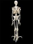 Скелет человека на подставке (170 см.)